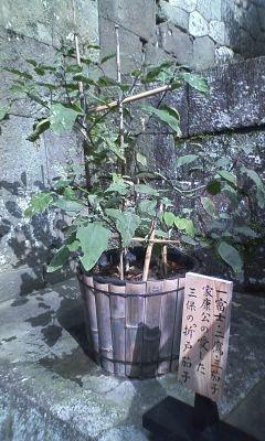 3茄子.JPG